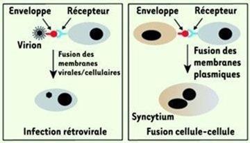 Syncytine