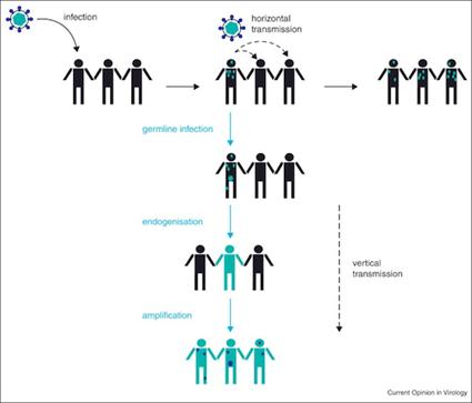 Transmission verticale des virus