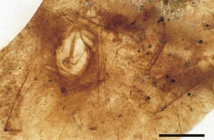 Eophalangium sheari