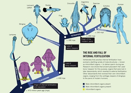 Scénario des gains et pertes d'organes intromittents durant l'évolution des gnathostomes