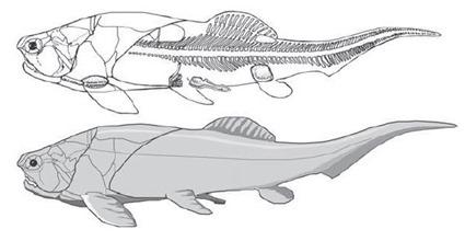 Coccosteus mâle avec claspers