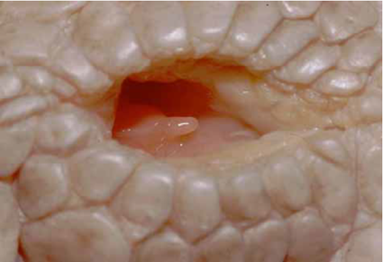 Clitoris d'un alligator de Chine