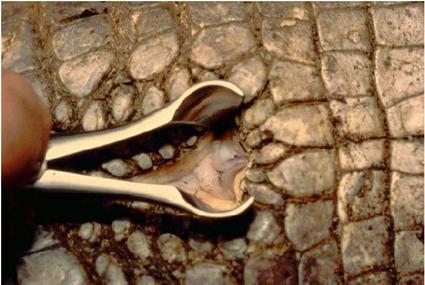 Clitoris d'un Caïman de Schneider