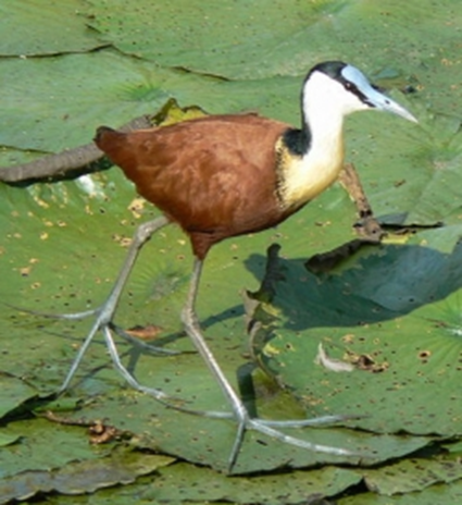 Actophilornis africana