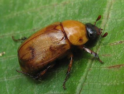 Cyclocephala hardyi