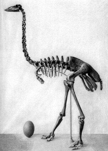 Squelette et oeuf d'Aepyornis