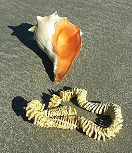 Knobbed_Whelk_with_Egg_Case_100b2930