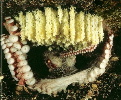 œufs de pieuvre