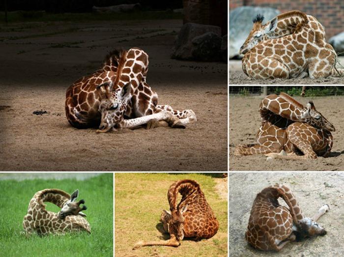 Girafes qui dorment