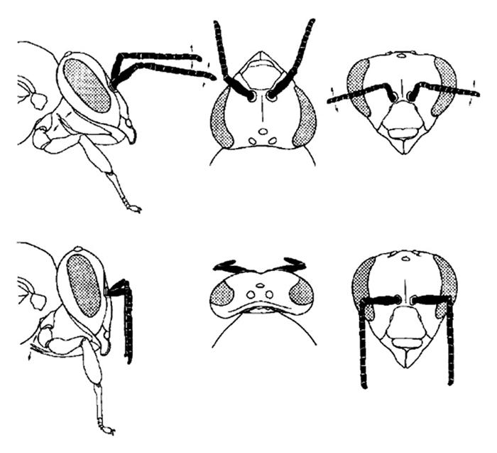 Les antennes tombantes d'un insecte qui dort