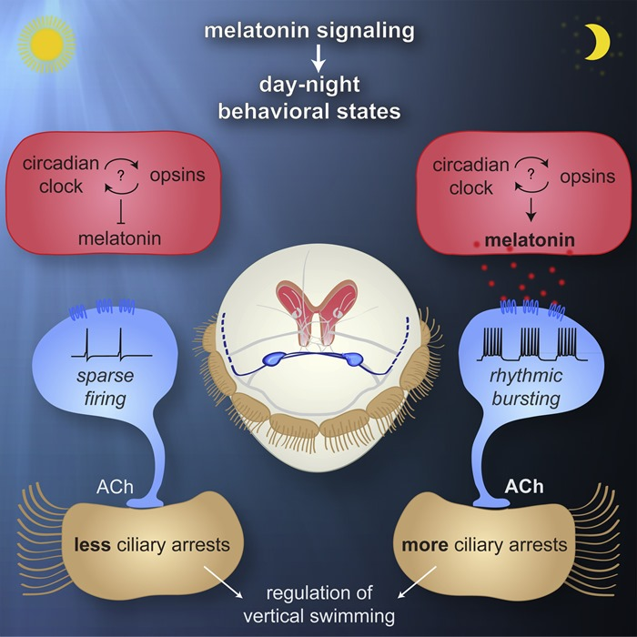 Résumé graphique de l'étude Melatonin Signaling Controls Circadian Swimming Behavior in Marine Zooplankton