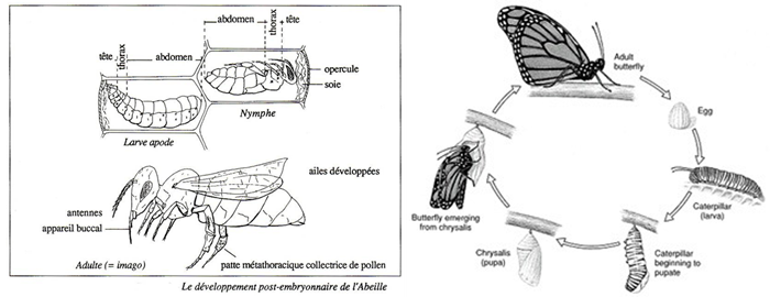 Cycles Holometaboles