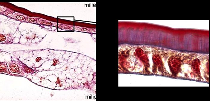 Coupe histologique de cuticule