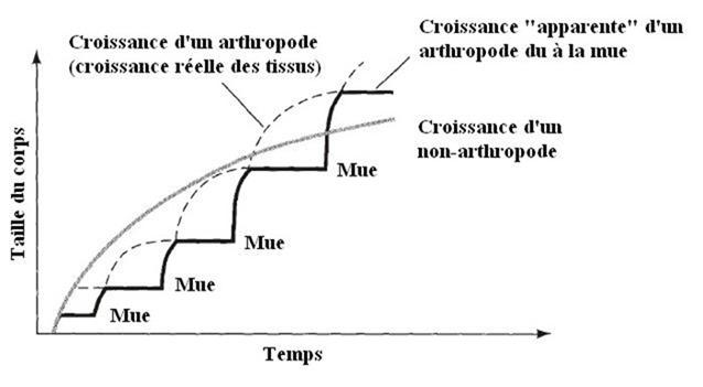 Processus des mues pendant la croissance