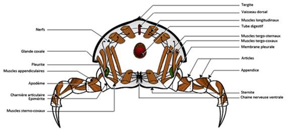 Plan d'organisation d'un arthropode