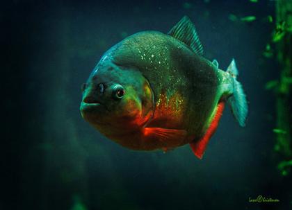 piranha à ventre rouge