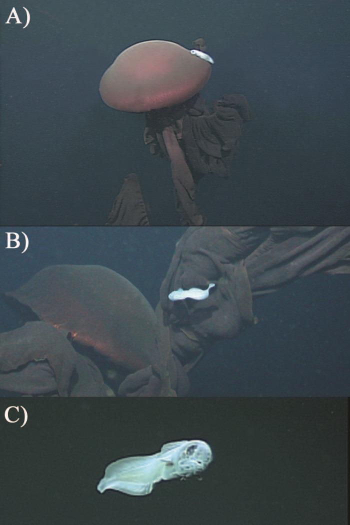 Thalassobathia pelagica, Drazen et Robinson, 2004