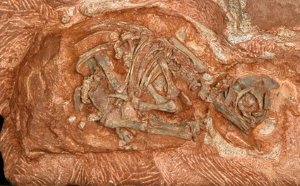 Embryon de Massospondylus carinatus 
