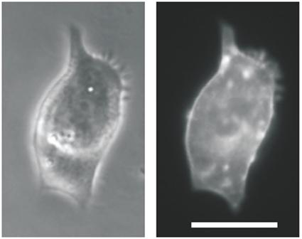 Cardomyocite transgénique exprimant Channelrhodopsin2