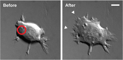 Cellule de rein transgénique avant et après illumination, Wu et al., 2009