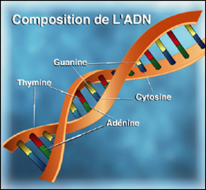 Composition de l'ADN