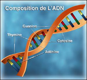 Composition de l'ADN