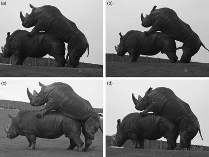 Copulation chez les Rhinocéros, West Midland Safari and Leisure Park, Worcestershire, UK.