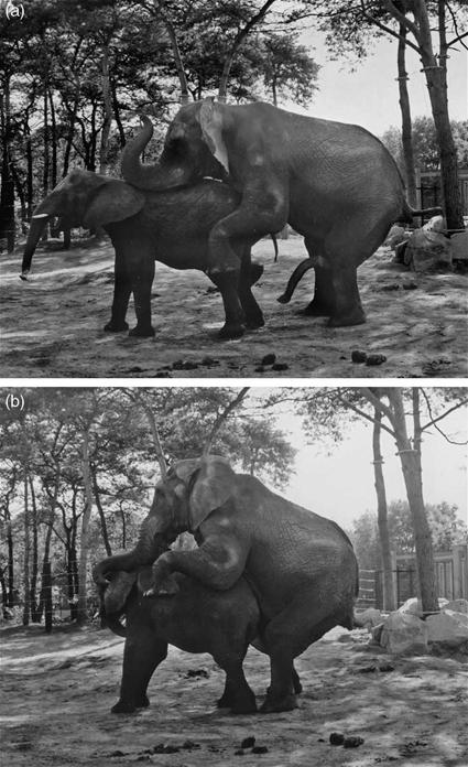 Copulation chez l'Eléphant, Hans Orbons