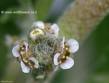 Fleur d'Anastatica hierochuntica