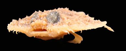 Halieutichthys intermedius