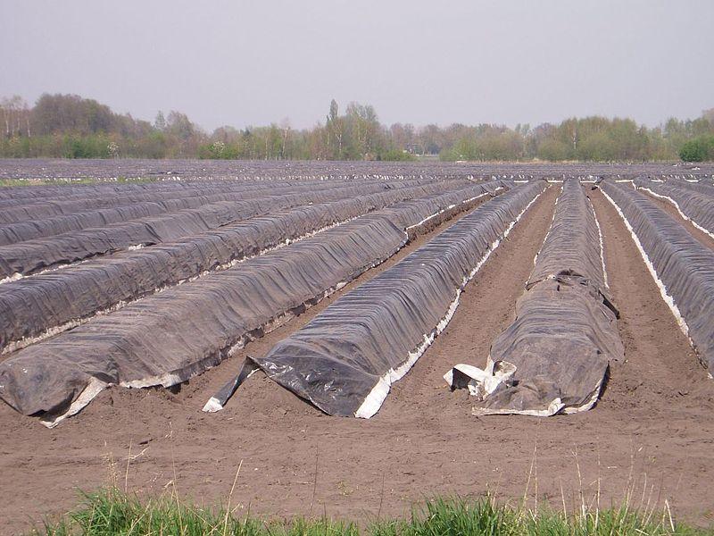 Culture d'asperges aux Pays-bas