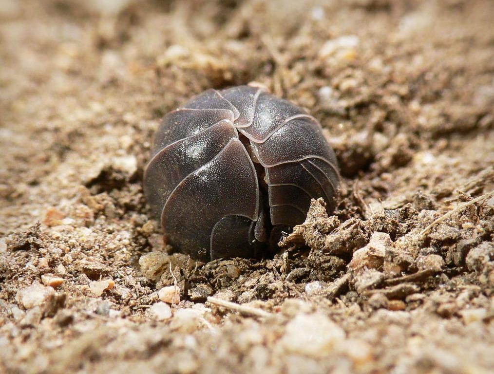 Armadillidium vulgare en boule