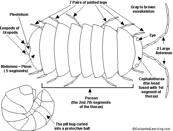Schéma de l'anatomie d'Armadillidium vulgare