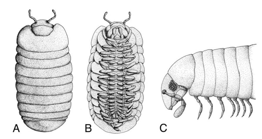 Schéma des faces dorsale, ventrale et latérale de Glomeris marginata