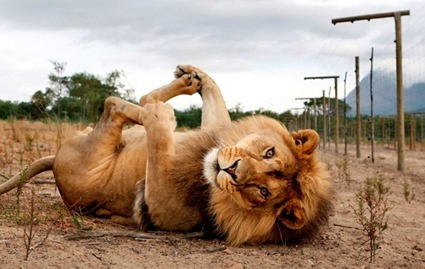 Lion gros chat