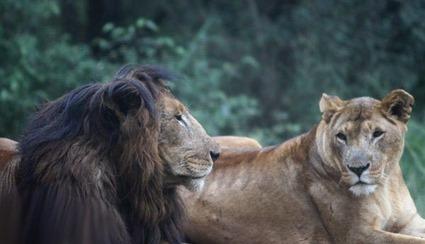Lionne à crinière