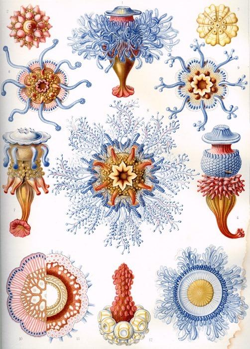 Haeckel, Siphonophorae