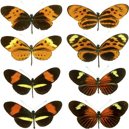 Mimétisme müllerien chez les espèces Heliconius