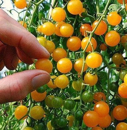 Tomates des Galapagos