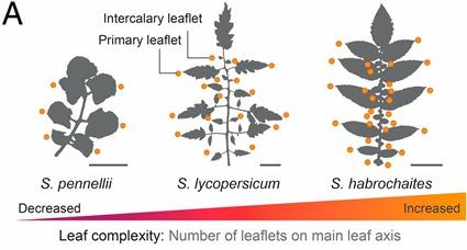 Augmentation de la complexité des feuilles chez les plants de tomate