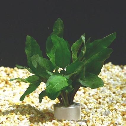 Rorippa aquatica