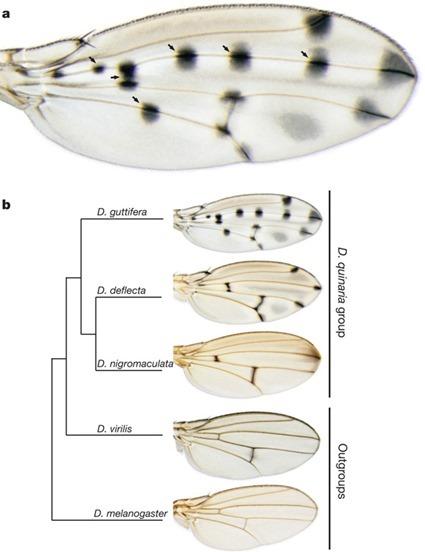 Ailes de D. guttifera et 4 autres espèces de drosophiles