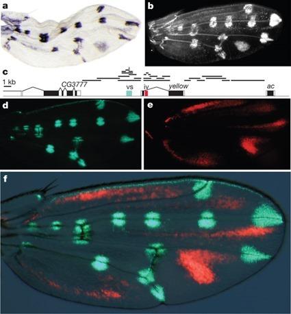 séquences régulatrices dans l'aile de D. guttifera