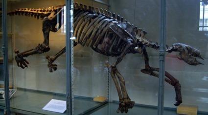 Squelette de Thalassocnus nature, exposé au MNHN