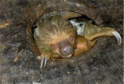 Paresseux Choloepus didactylus retrouvé dans des latrines