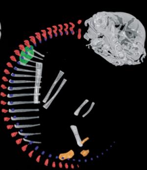Vue latérale d'une reconstruction 3D de scans tomographiques d'un squelette de Bradypus, Hautier et al., 2010
