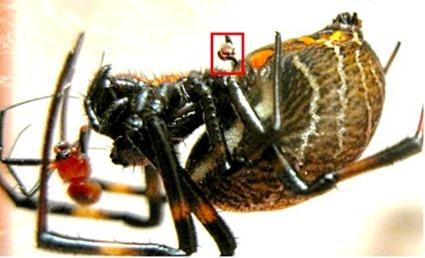 Les pédipalpes de l'araignée mâle Nephilengys malabarensis sont restés dans les voies génitales de la femelle