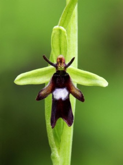 Ophrys insictifera