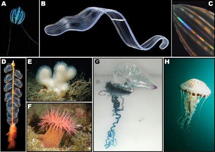 Exemple de Cnidaires et Cténophores