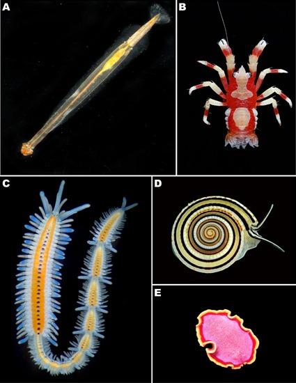 Quelques exemples de Protostomiens